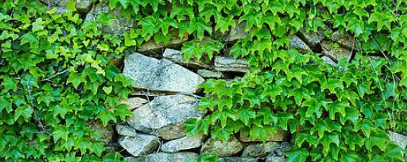 长春藤花怎么繁殖