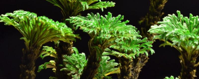 金丝猴蕨的养殖方法和注意事项