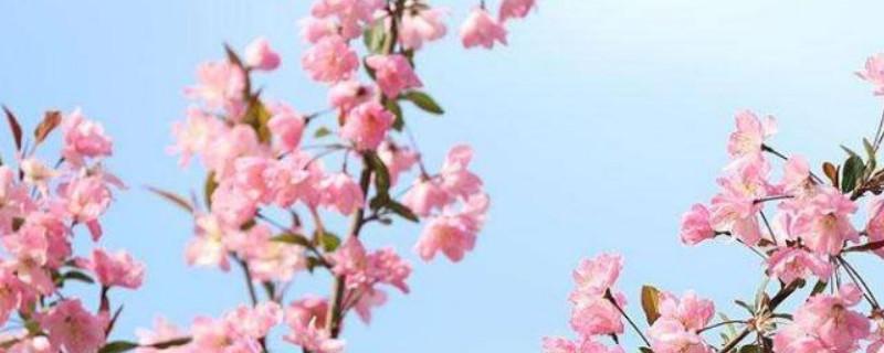 海棠树可以扦插繁殖吗