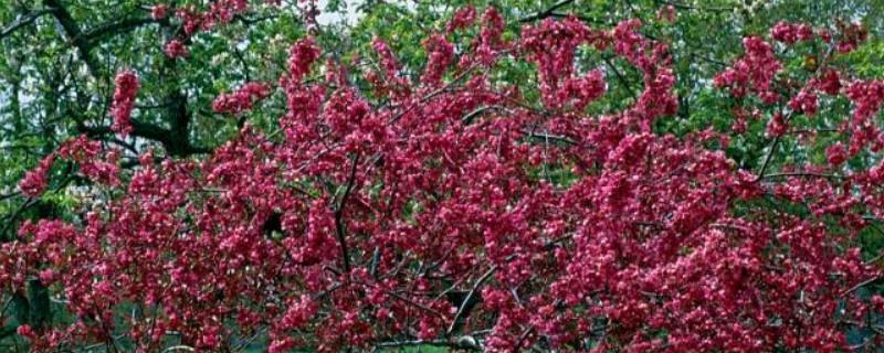 海棠树如何修剪