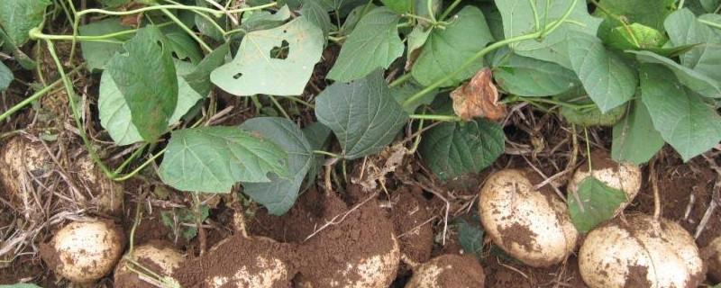 白地瓜种植时间方法及管理