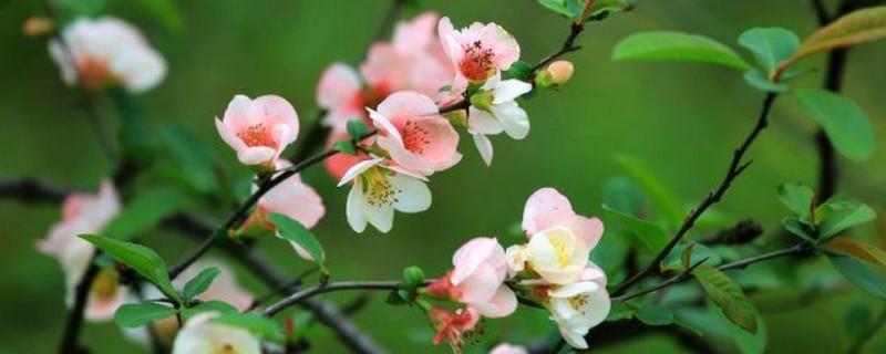 海棠花开多久凋谢