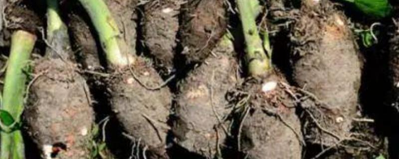 芋头要种植深还是浅