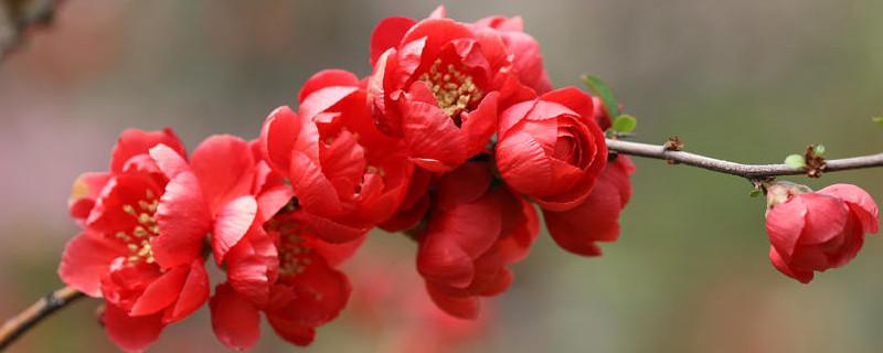长寿乐海棠一年开几次花