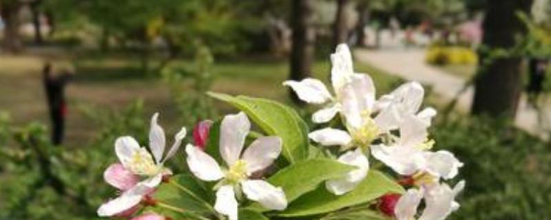 重瓣海棠的养殖方法和注意事项