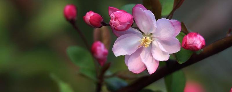 海棠花春季怎样修剪