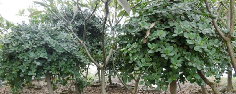 金钱榕盆景的养殖方法