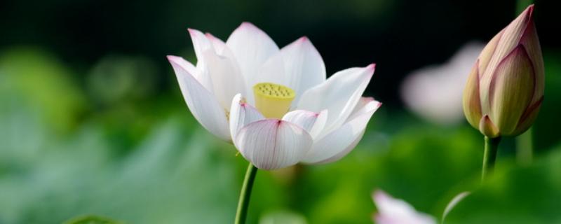 六月的守护花是什么花