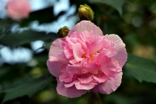 芙蓉花一年开几次花
