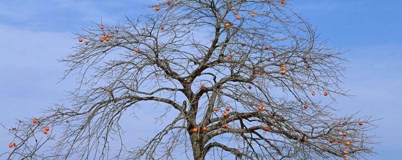 柿子树春天不发芽是不是死了