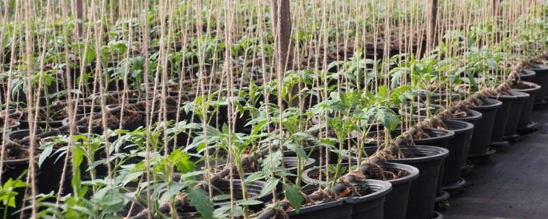 小葡萄苗施什么肥长的快