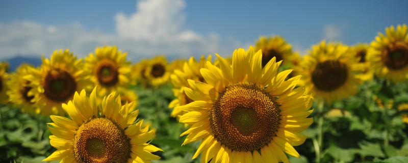 向日葵如何保存