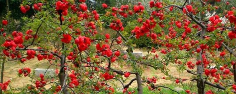 长寿冠海棠花开完花后该怎么处理