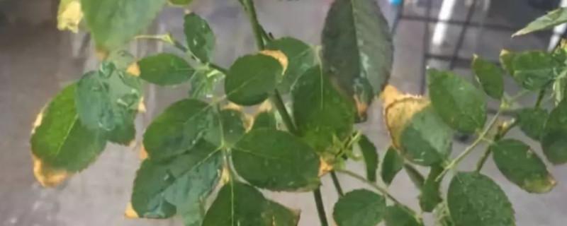 植物掉叶子怎么补救