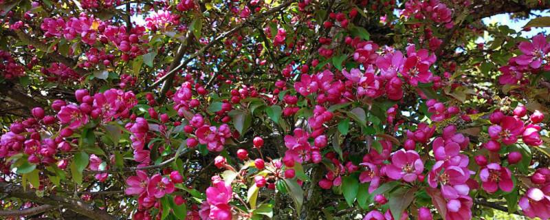 长寿海棠一年开几次花