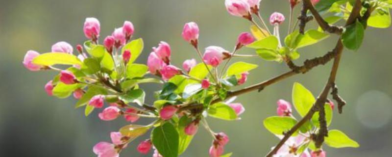 海棠花叶子蔫了怎么回事