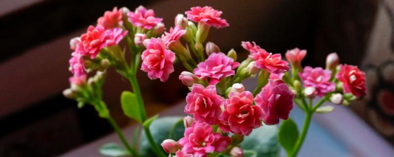 长寿花怎样修剪才能开花