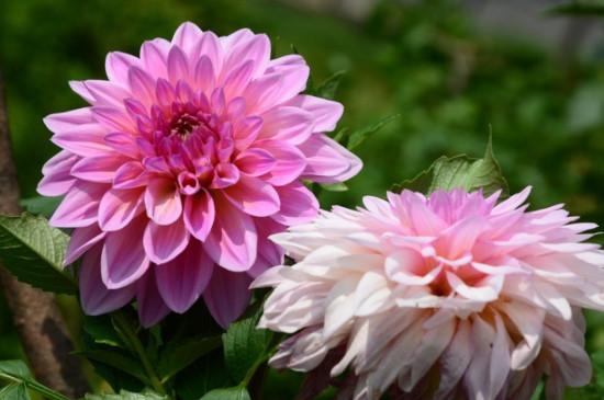 大理菊花的养殖方法和注意事项