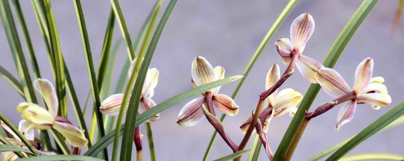 莲瓣兰有几种怎么识别