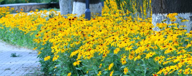 金光菊的养殖方法和注意事项