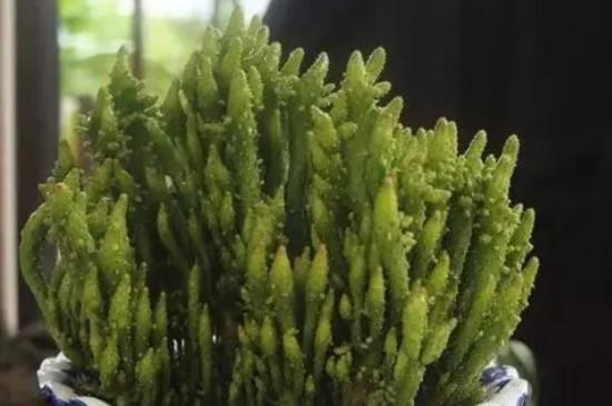 姬珊瑚的养殖方法和注意事项