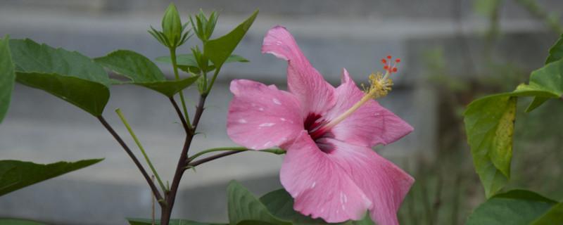 朱槿花的养殖方法和注意事项
