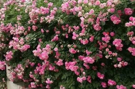 四季月季花的养殖方法