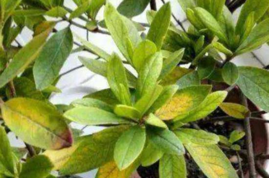 杜鹃叶子发黄是什么病