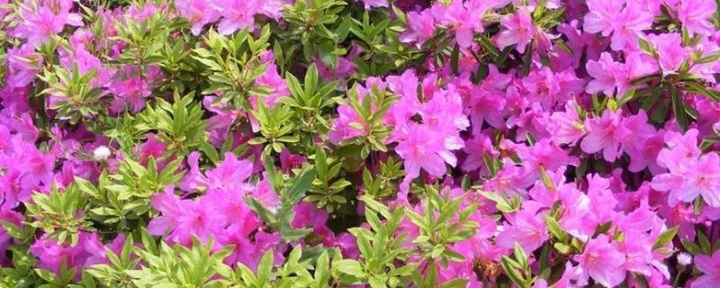 毛杜鹃花的养殖方法和注意事项 盆栽