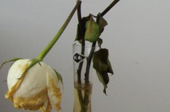凋谢的白玫瑰花语