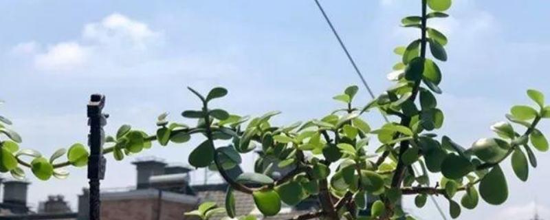 胡椒木的寓意和象征
