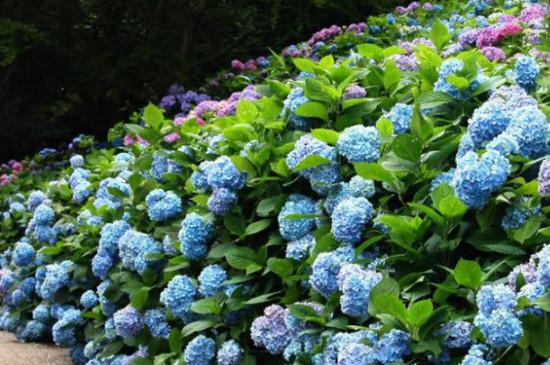 秋天绣球花的养殖方法和注意事项