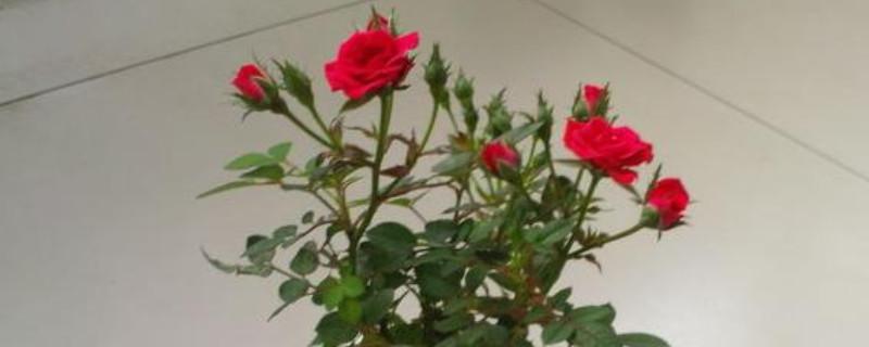 盆栽玫瑰花的养殖方法和注意事项
