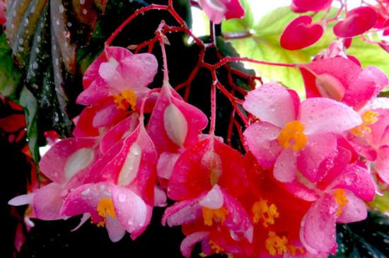 葡萄莲花的养殖方法