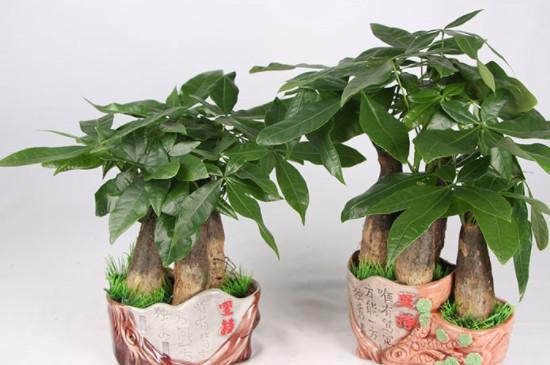盆栽发财树的养殖方法和注意事项