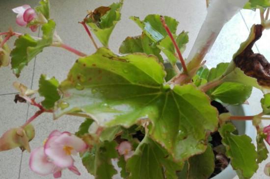 海棠树叶子发黄干枯怎么回事