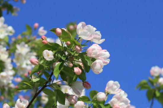 海棠花的养殖方法和注意事项 盆栽