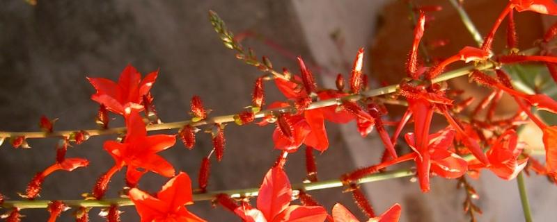 红雪花养殖注意事项和修剪方法