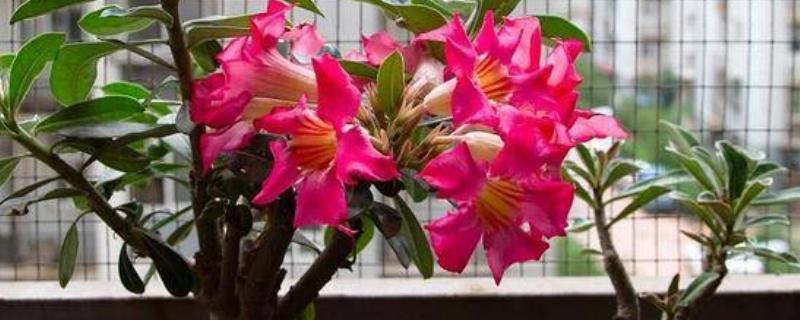 沙漠玫瑰的养殖方法和注意事项盆栽