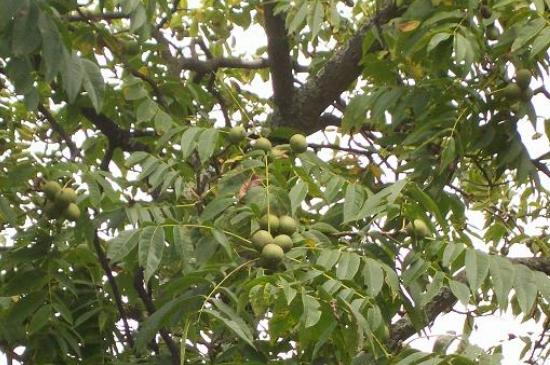 核桃树叶片发黄脱落是什么原因