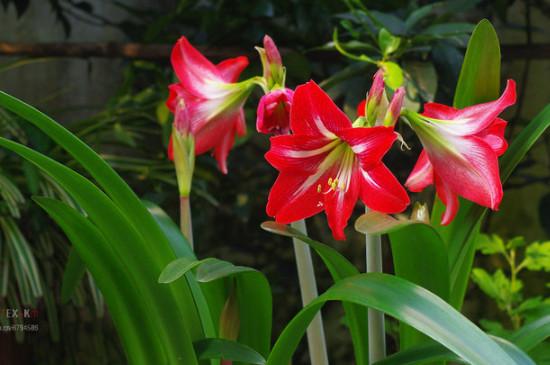 鹤顶红花养殖方法和注意事项