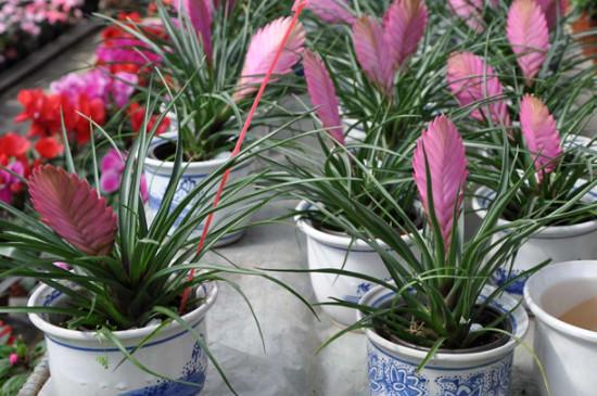 铁兰花的养殖方法和注意事项 盆栽