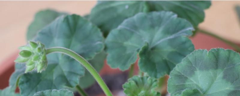 天竺葵叶子发黄是什么原因