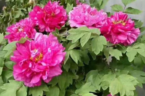 盆栽牡丹花的养殖方法和注意事项