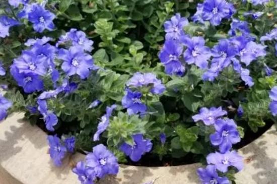 蓝星花的养殖方法和注意事项