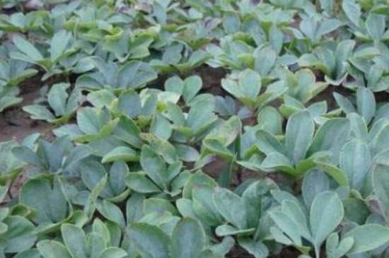 芍药花的种子怎么种才能出苗