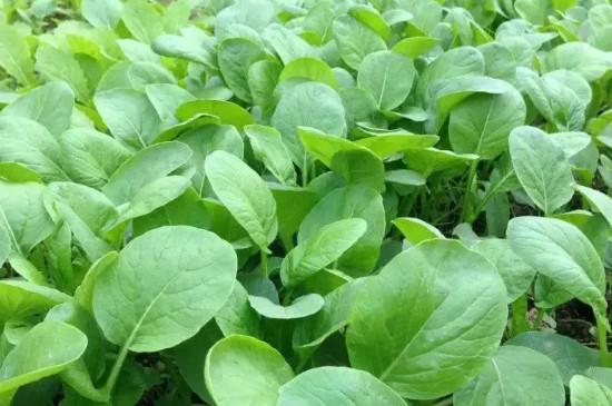 北方秋白菜的种植方法和时间