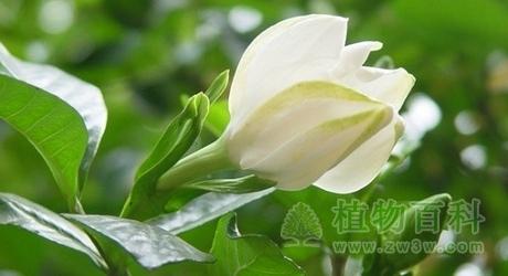栀子Gardenia jasminoides