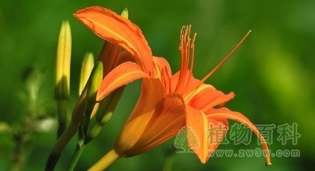萱草 Hemerocallis fulva