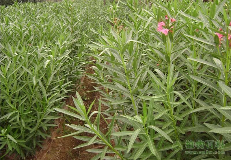 夹竹桃种植